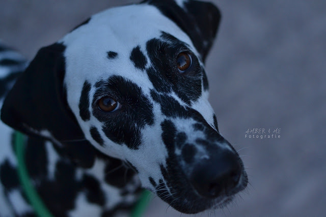 Amber1-1 %Hundeblog