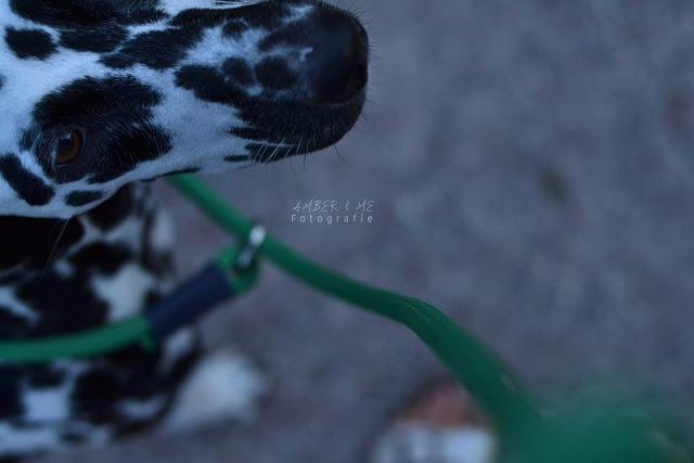 Amber6-1 %Hundeblog