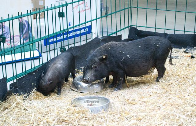 Schweine-1 %Hundeblog
