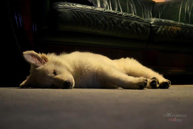 Welpe2-1 %Hundeblog