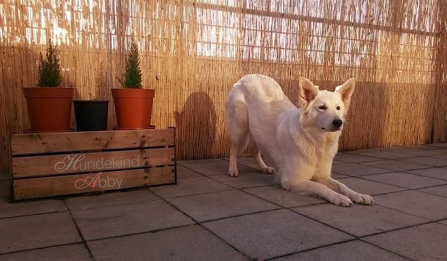 Abby-verbeugen-1 %Hundeblog