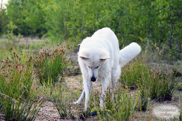 Abby-Sommer1-1 %Hundeblog