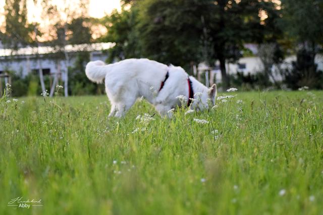 AbbyinGras1-1 %Hundeblog