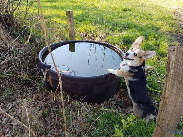 Aufstuetzen-Muchkin-1 %Hundeblog