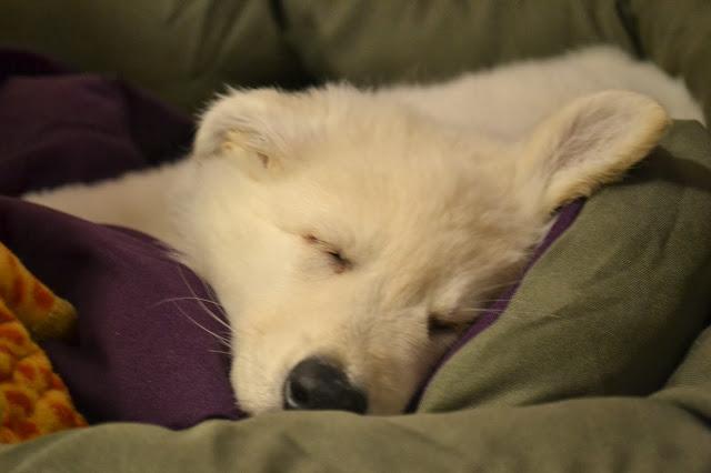 Abby Welpe schläft