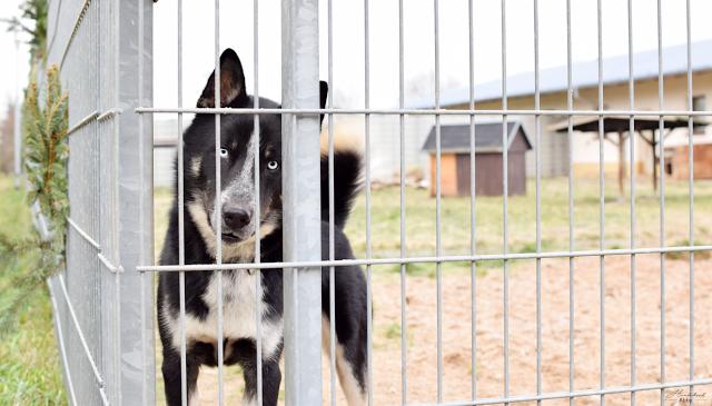 Husky-Mischling am Zaun